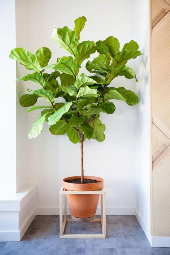 fiddle-fig-in-geometric-planter-550x824