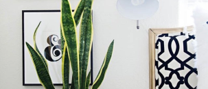 Plant Trendspot: Mother in Law's Tongue